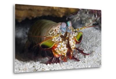 Smasher Mantis Shrimp
