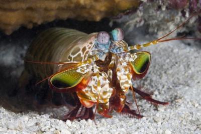 Smasher Mantis Shrimp by Reinhard Dirscherl