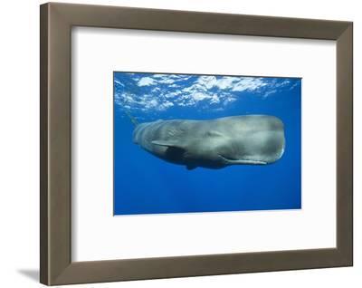 Sperm Whale (Physeter Macrocephalus)