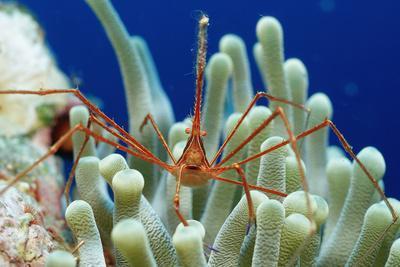 Spider Hermit Crab, Stenorhynchus Seticornis, Netherlands Antilles, Bonaire, Caribbean Sea