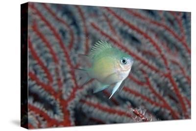 Spiny Chromis (Acanthochromis Polycanthus)