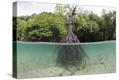 Split Image of a Large Mangrove and its Extensive Prop Root System