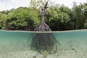 Split Image of a Large Mangrove and its Extensive Prop Root System by Reinhard Dirscherl