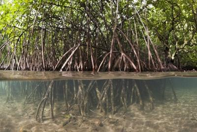 Split Image of Mangroves and their Extensive Prop Roots, Risong Bay, Micronesia, Palau by Reinhard Dirscherl