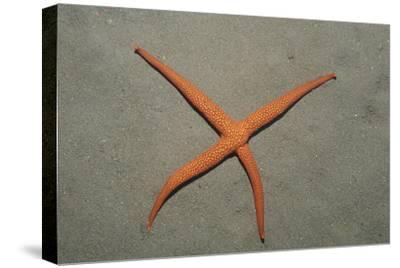 Starfish Showing Regeneration of Injured Arm, Asteroidea, Bali, Indian Ocean, Indonesia.