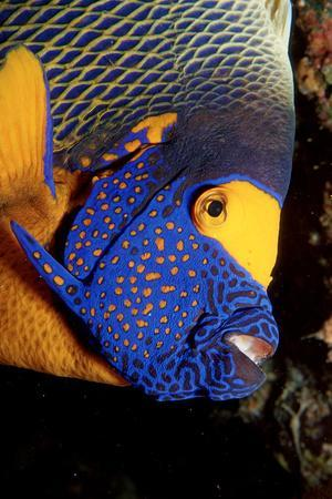 Yellow-Mask Angelfish Head. (Pomacanthus Xanthometopon) Indian Ocean