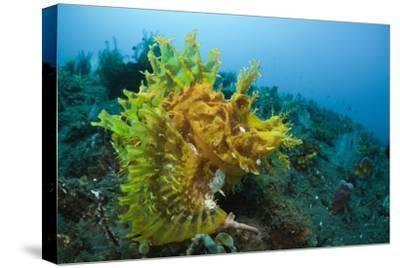 Yellow Weedy Scorpionfish (Rhinopias Frondosa), Alam Batu, Bali, Indonesia
