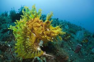 Yellow Weedy Scorpionfish (Rhinopias Frondosa), Alam Batu, Bali, Indonesia by Reinhard Dirscherl