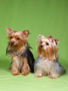 Dogs, Two Yorkshire Terriers by Reinhard