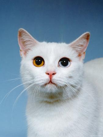 Domestic Cat, Odd-Eyed