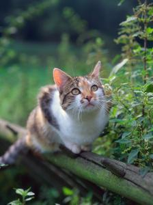 Domestic Cat Watching for Birds, Europe, Looking Up by Reinhard