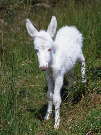 Domestic Donkey Foal, Albino, Europe