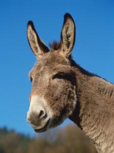 Domestic Donkey Head Portrait, Europe by Reinhard