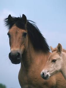 Domestic Horse, Dulmen Pony, Mare with Foal, Europe by Reinhard