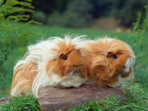 Domestic Peruvian Guinea Pigs (Cavia Porcellus) Europe by Reinhard