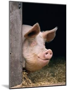 Domestic Pig Looking out of Stable, Europe by Reinhard