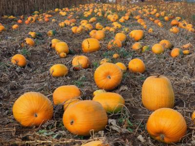 Field of Ripe Pumpkins (Cucurbita Maxima) USA