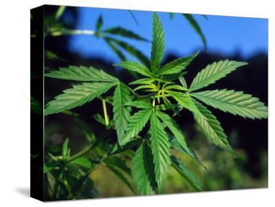 Indian Hemp / Cannabis Plant (Cannabis Indica / Sativa) Europe