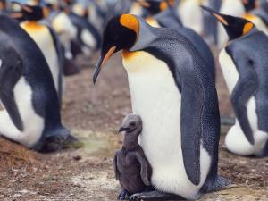 King Penguin with Young Chick (Aptenodytes Patagonica) South Georgia by Reinhard