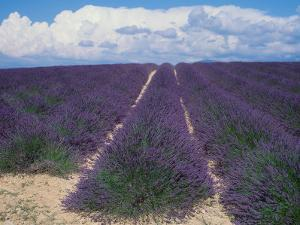 Lavender Field in Flower, Provence, France (Lavendula Angustifolia) by Reinhard