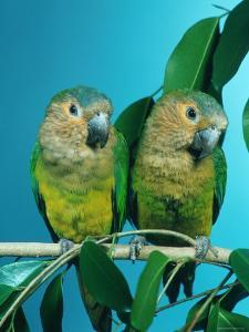 Orange-Cheeked Conures (Aratinga Pertinax Chrysophrys) by Reinhard