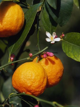 Orange Fruits and Blossom (Citrus Aurantium Sinensis)