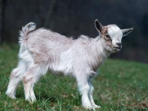 Pygmy Domestic Goat Kid by Reinhard