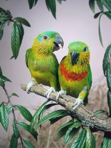 Salvadori's Fig Parrots, Pair (Psittaculirostris Salvadorii) by Reinhard