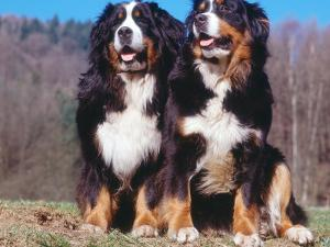 Two Bernese Mountains Dogs by Reinhard