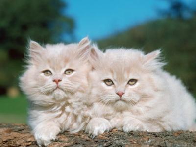 Two Persian Cats, Kittens (Felis Catus)