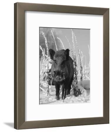 Wild Boar in Winter (Sus Scrofa), Europe