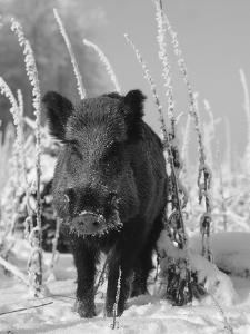 Wild Boar in Winter (Sus Scrofa), Europe by Reinhard