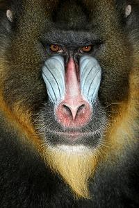Close up Portrait of Baboon Monkey by Reinhold Leitner