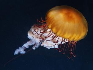 Profile of Floating Jellyfish with Trailing Tentacles. by Reinhold Leitner