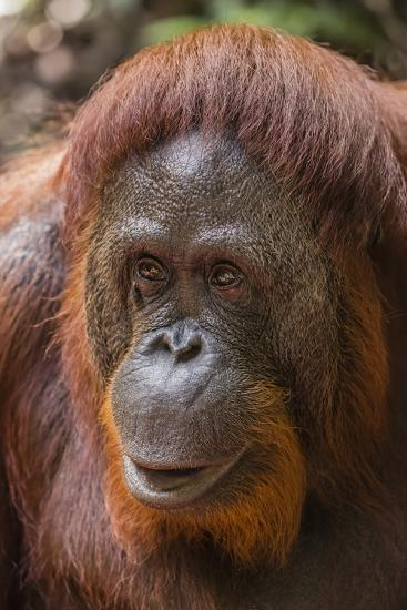 Reintroduced Female Orangutan (Pongo Pygmaeus), Indonesia-Michael Nolan-Photographic Print
