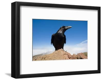 Common Raven (Corvus Corax) Perched on Rock, La Caldera De Taburiente Np, La Palma, Canary Islands