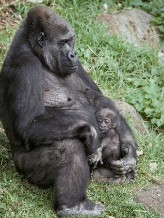 https://imgc.artprintimages.com/img/print/relaxed-western-lowland-gorilla-mother-tenderly-nursing-her-infant-melbourne-zoo-australia_u-l-p2xn2j0.jpg?p=0