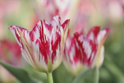 Rembrandt Silver Standard Tulip-Cora Niele-Photographic Print