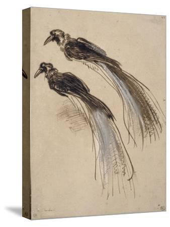 Deux études pour un oiseau de paradis