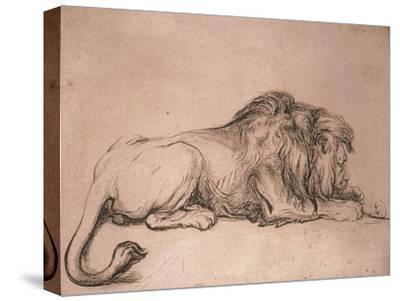 Lion couché rongeant un os