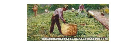 'Removing Tobacco Plants from Bed', 1926-Unknown-Giclee Print