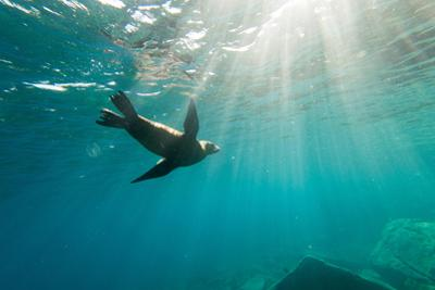 California Sea Lion Los Islotes, Baja California, Mexico by Renato Granieri