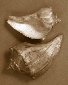 Sensual Shells I by Renee W^ Stramel