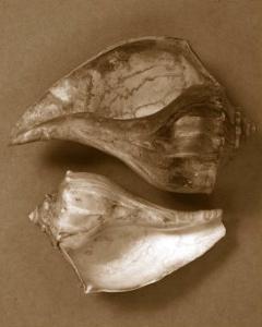 Sensual Shells II by Renee W^ Stramel