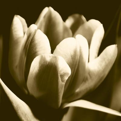 Sepia Tulip I by Renee W^ Stramel