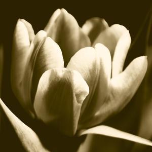 Sepia Tulip I by Renee W. Stramel