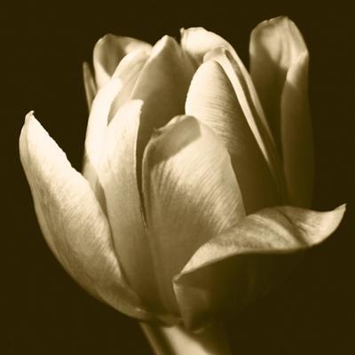 Sepia Tulip II by Renee W^ Stramel