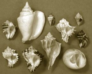 Shell Collector Series II by Renee W^ Stramel