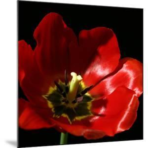Shimmering Tulips I by Renee W^ Stramel
