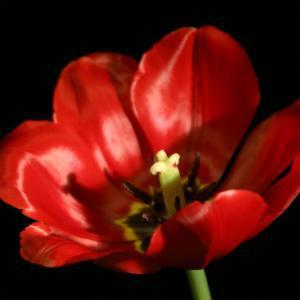 Shimmering Tulips IV by Renee W^ Stramel